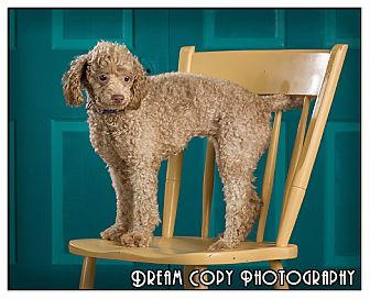 Poodle (Miniature) Dog for adoption in Owensboro, Kentucky - Ivory