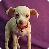Adopt A Pet :: Pinot - Broomfield, CO