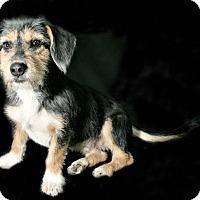 Adopt A Pet :: Captain Crunch - Norwalk, CT