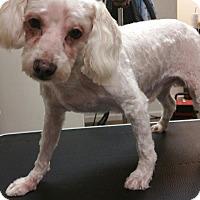 Adopt A Pet :: Poblo Picasso - Clarksville, TN