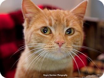 Domestic Shorthair Cat for adoption in Homewood, Alabama - Isabella