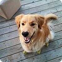 Adopt A Pet :: Stella - Pierrefonds, QC