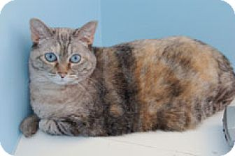 Domestic Shorthair Cat for adoption in Fairfax, Virginia - Clover