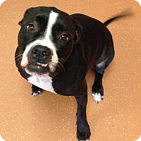 Adopt A Pet :: Dazy - Flower Mound, TX