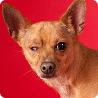 Miniature Pinscher/Chihuahua Mix Dog for adoption in Chicago, Illinois - Stitch