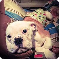 Adopt A Pet :: Hamlet - Park Ridge, IL