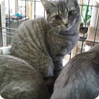 Domestic Shorthair Cat for adoption in Gainesville, Virginia - Shimmer