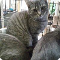 Adopt A Pet :: Shimmer - Gainesville, VA