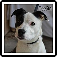 Adopt A Pet :: Moolah - Wakefield, RI