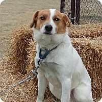 Jack Russell Terrier/Spaniel (Unknown Type) Mix Dog for adoption in Franklin, Indiana - Russell