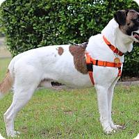 Adopt A Pet :: Remi - Pinehurst, NC
