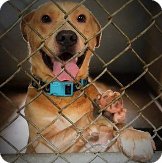American Pit Bull Terrier Mix Dog for adoption in Waldron, Arkansas - Ace