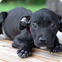 Adopt A Pet :: Karen ADOPTION PENDING - Waldorf, MD