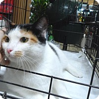 American Bobtail Cat for adoption in Pensacola, Florida - Candy
