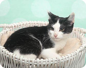 Domestic Shorthair Kitten for adoption in Chippewa Falls, Wisconsin - Brella