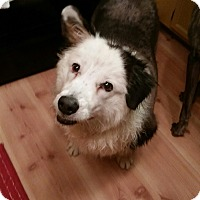 Australian Shepherd/Australian Shepherd Mix Dog for adoption in Las Vegas, Nevada - Missy aka Sally