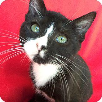 Domestic Shorthair Kitten for adoption in Meridian, Idaho - Truffles