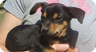 Dachshund Mix Puppy for adoption in Allentown, Pennsylvania - Barney