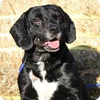 Labrador Retriever Mix Dog for adoption in Marietta, Ohio - Oliver (Neutered)-New Photos