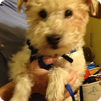 Adopt A Pet :: Jack - Chesterfield, MO