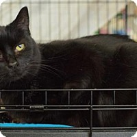 Domestic Mediumhair Cat for adoption in Los Angeles, California - Tilly