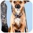 Photo 2 - Chihuahua Puppy for adoption in Portland, Oregon - Koko