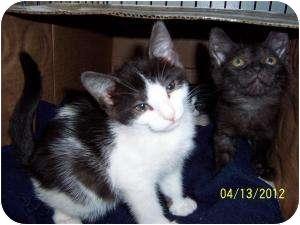 Domestic Longhair Kitten for adoption in Island Park, New York - Lovely