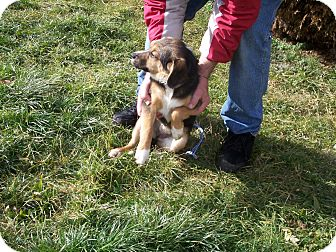 Beagle Mix Puppy for adoption in Germantown, Maryland - Scamp