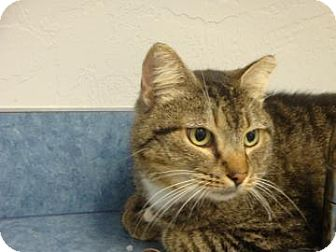 Domestic Shorthair Cat for adoption in Gainesville, Florida - Emilio