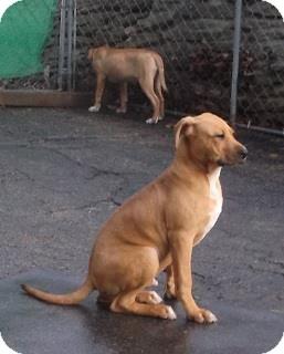 BamBAM | Adopted Dog | Cincinnati, OH | Rhodesian ...