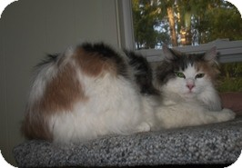 Domestic Longhair Cat for adoption in Shelton, Washington - Princess