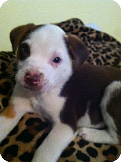 Australian Shepherd Mix Puppy for adoption in Glastonbury, Connecticut - Jeb