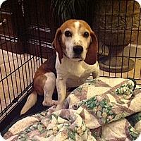 Adopt A Pet :: Toby - Novi, MI