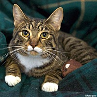 Domestic Shorthair Cat for adoption in St Louis, Missouri - Cooper
