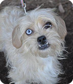 Atlanta, GA - Yorkie, Yorkshire Terrier/Lhasa Apso Mix ...