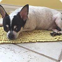 Adopt A Pet :: Beau - st peters, MO