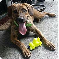 Adopt A Pet :: Maddie (Pom-Linda) - Hagerstown, MD
