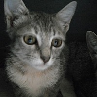 Domestic Shorthair Cat for adoption in Houston, Texas - Louise