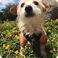 Adopt A Pet :: Paddington - El Cajon, CA
