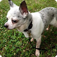 Chihuahua Mix Dog for adoption in Bridgewater, New Jersey - Junior