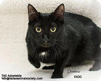 Domestic Shorthair Cat for adoption in Spring, Texas - DOMINO