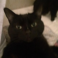 Domestic Shorthair Cat for adoption in Montreal, Quebec - Miss Nora