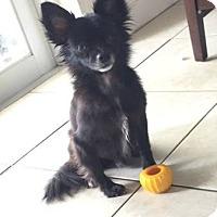 Adopt A Pet :: Pepper - Miami, FL