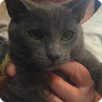Russian Blue Kitten for adoption in Encinitas, California - Karina