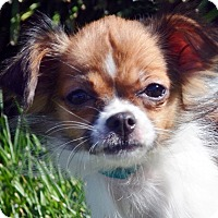 Adopt A Pet :: Ducky-Adoption pending - Bridgeton, MO