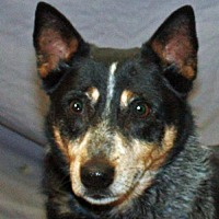 Australian Cattle Dog Dog for adoption in Modesto, California - Dako