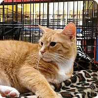Domestic Shorthair Cat for adoption in Columbus, Ohio - Rita
