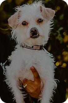 Wirehaired Fox Terrier/Lhasa Apso Mix Dog for adoption in west berlin, New Jersey - Max