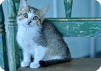 Domestic Shorthair Kitten for adoption in San Antonio, Texas - Milo