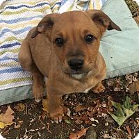 Adopt A Pet :: Chuckie - Harrison, NY